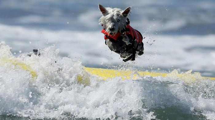 Perro surfero