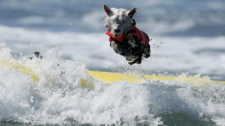 Perros Surfistas En California
