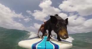 Kama surfing pig