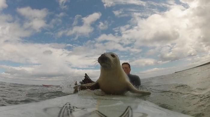 La foca surfista